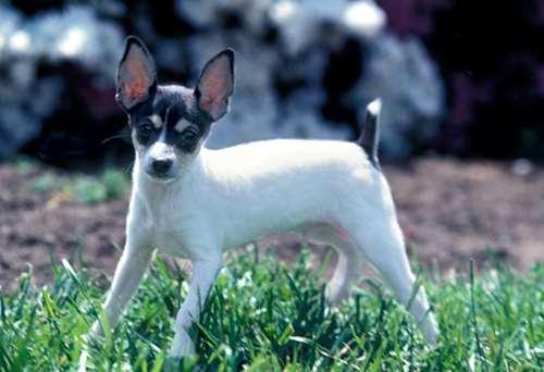 American-Toy-Terrier