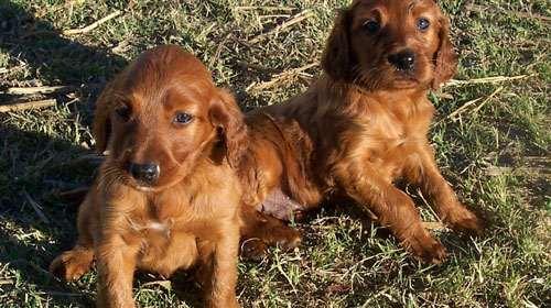 allevamento-cuccioli-cane