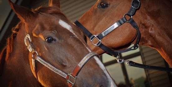 cavalli-intelligenza
