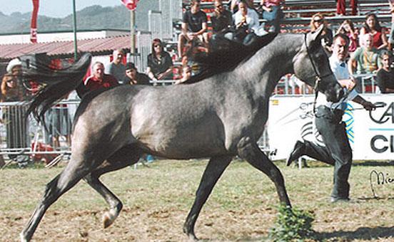 cavallo-arabo