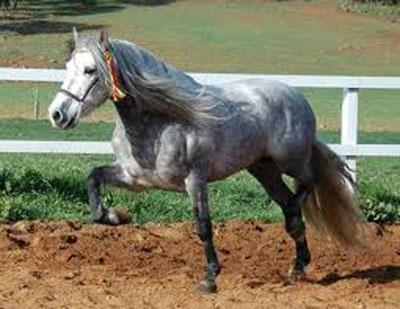 cavallo-certosino