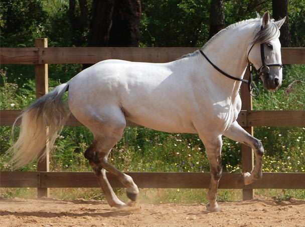 cavallo-lusitano-1
