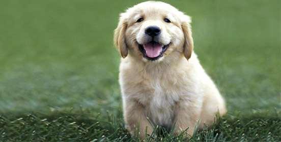 cucciolo-di-golden