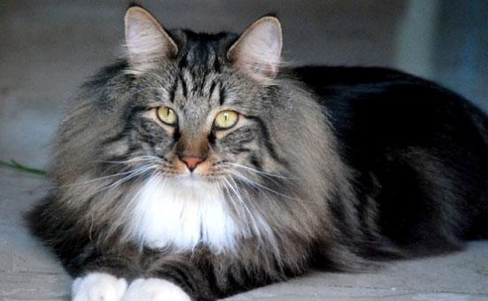 gatto-adulto