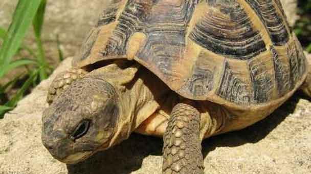 origine-e-calssificazione-delle-tartarughe