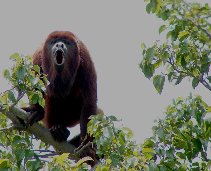 scimmia-urlatrice