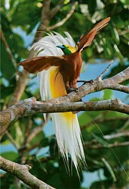 uccello-del-paradiso-2