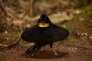 uccello-del-paradiso-3