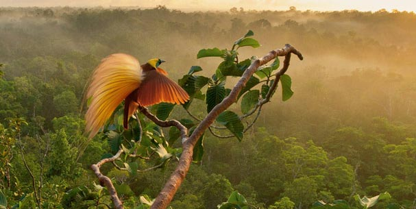 uccello-del-paradiso
