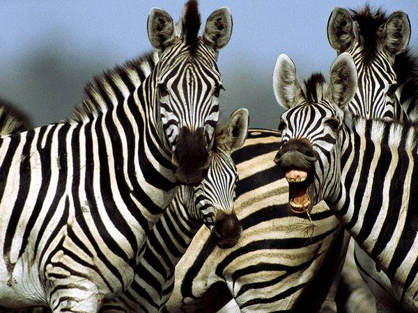 zebra-insetti