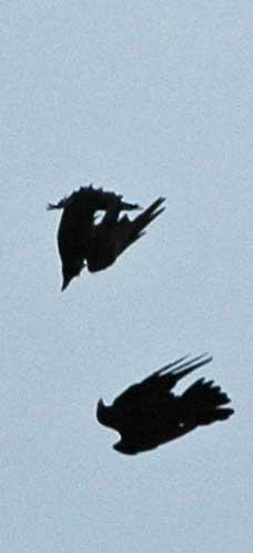 Corvus-corax-3
