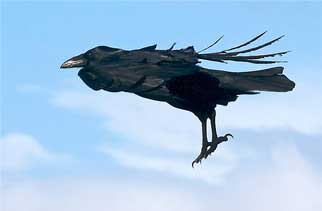 Corvus-corax-4