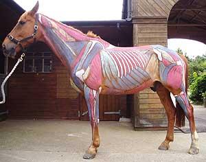 anatomia-cavallo