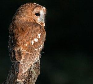 uccelli notturni