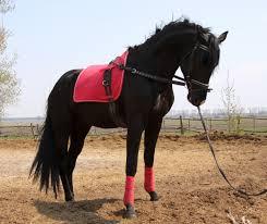 cavallo coda