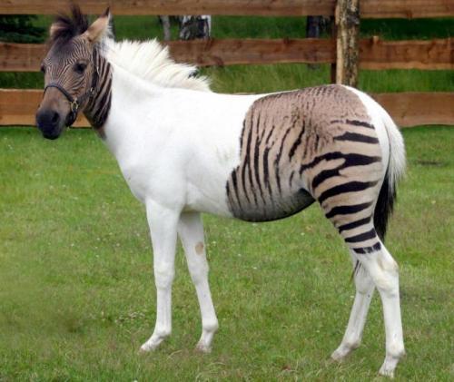 cavallo zebrato