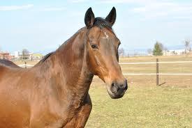 cavalli curiosità