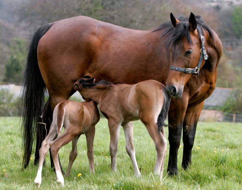 parto gemellare cavallo
