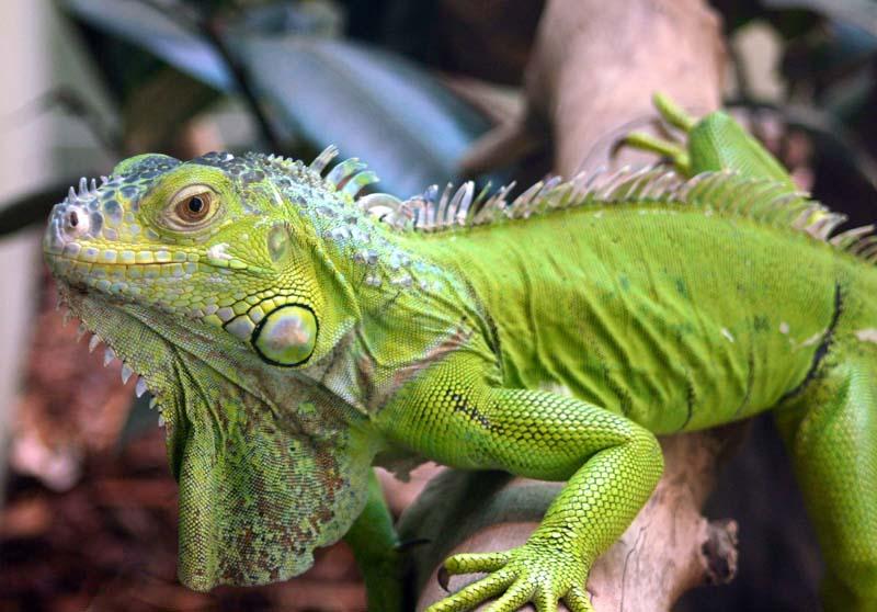 L-iguana