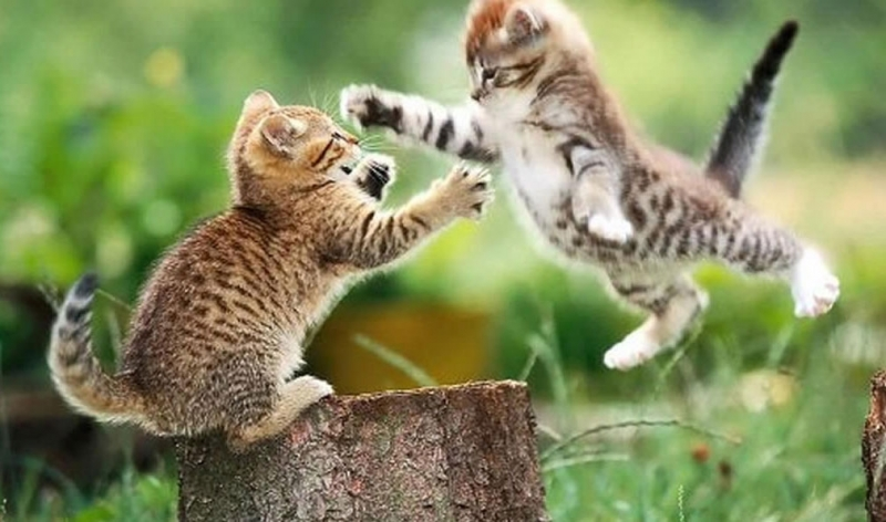 gatto che combatte
