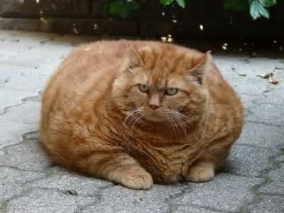 gatto-sovrappeso