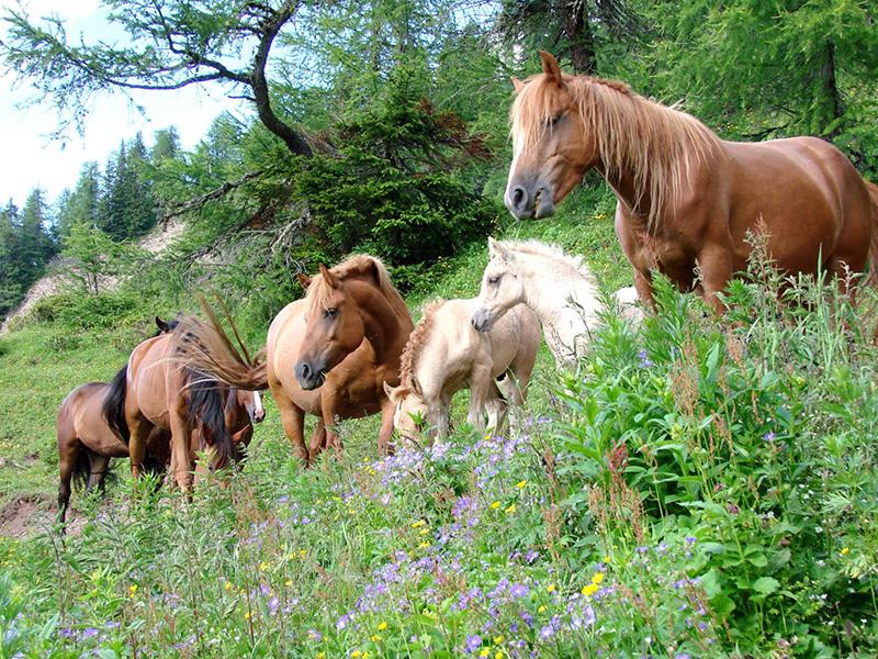gerachia cavalli