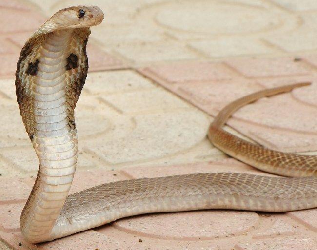 cobra-reale