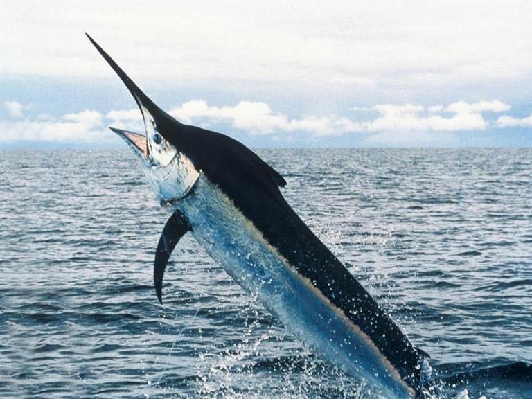 pesce-spada