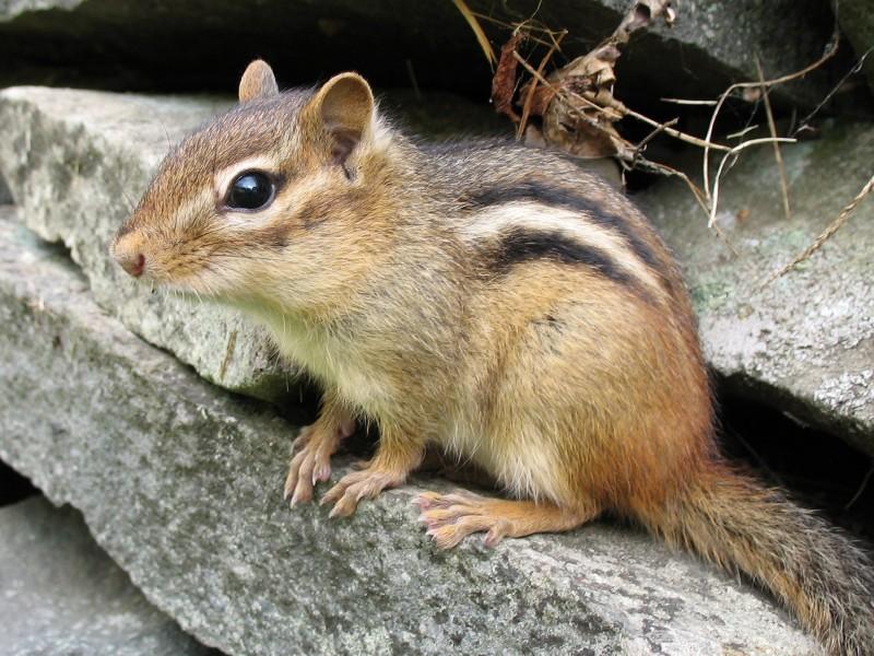 scoiattolo-striato