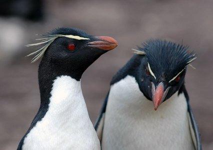 Pinguino Saltarocce