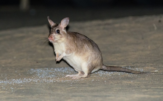 ratto gigante malgascio