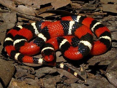 Serpente Corallo
