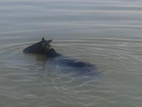 cavallo nel fiume