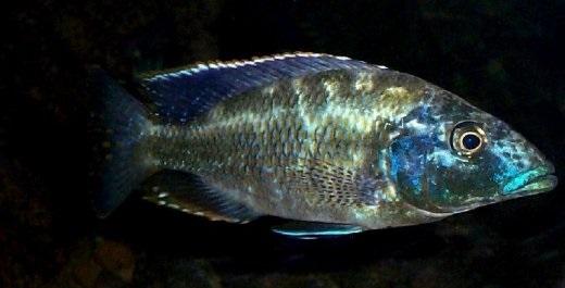 NimbochromisLinni