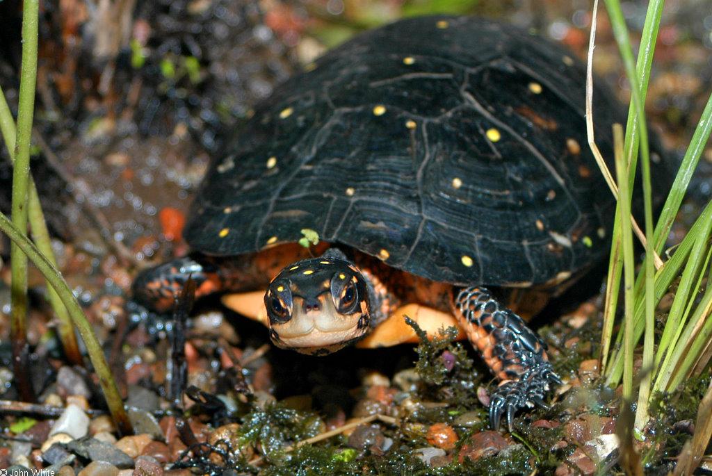 Tartaruga Maculata