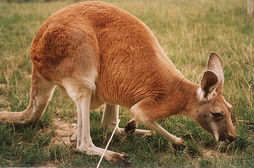 Canguro Rosso