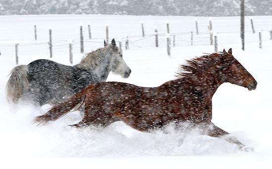 Salvati 10 cavalli da una tempesta di neve