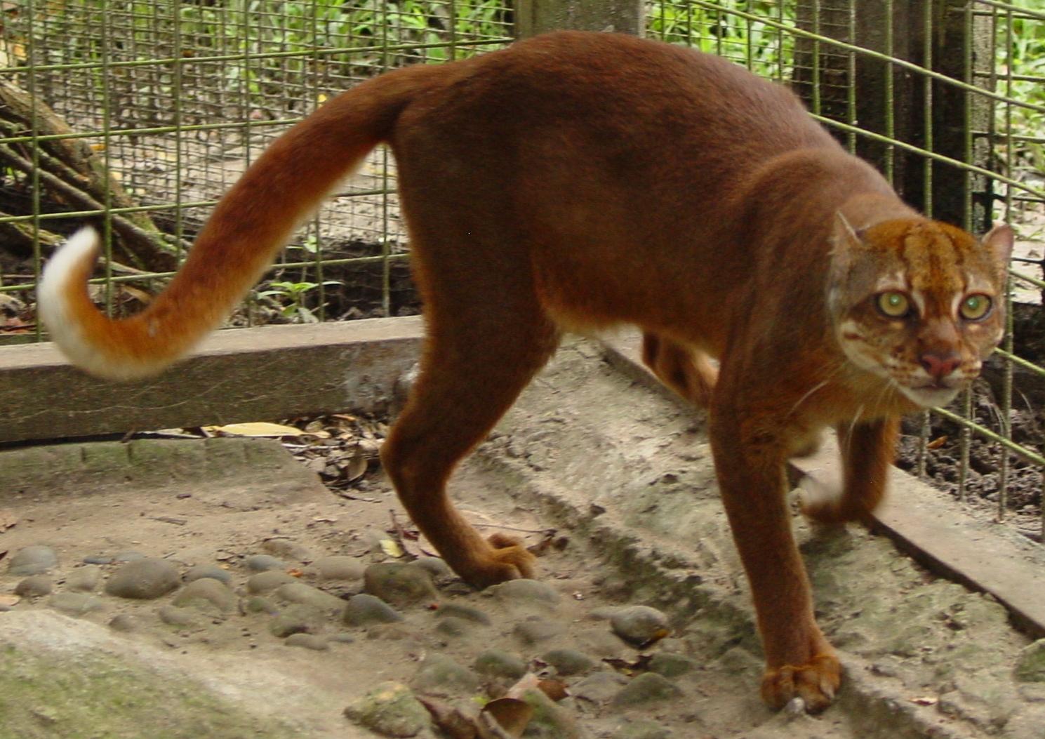 Gatto Dorato Del Borneo