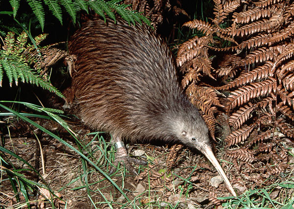 Kiwi Australe