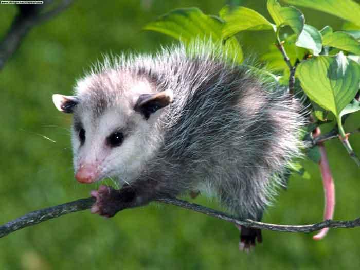 Opossum Virginiano