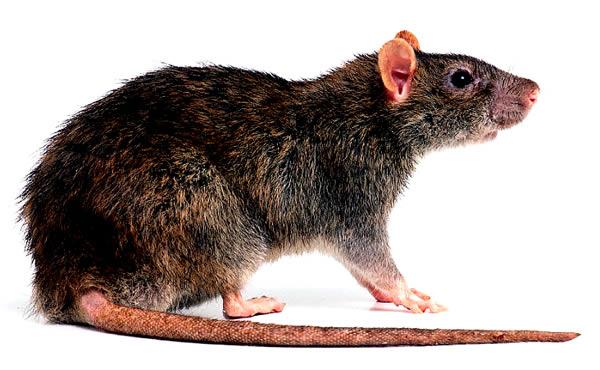 Ratto Delle Chiaviche