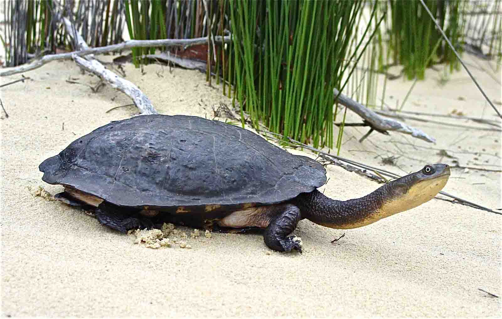 tartaruga comune dal collo di serpente