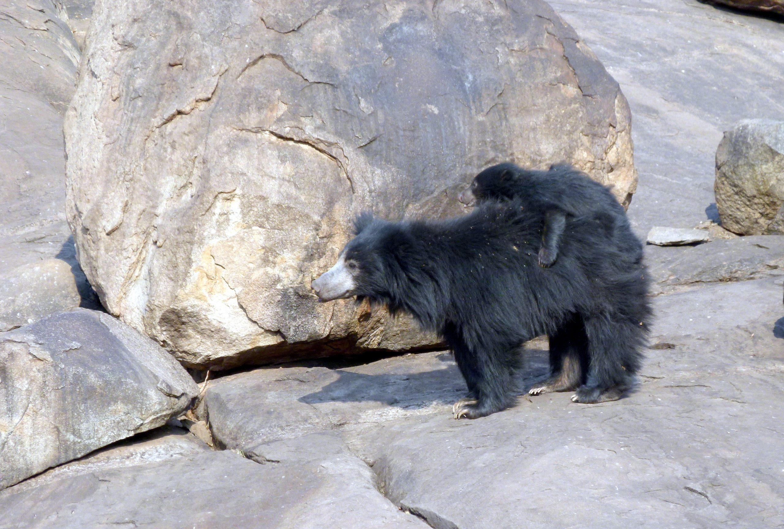 Orso Giocoliere
