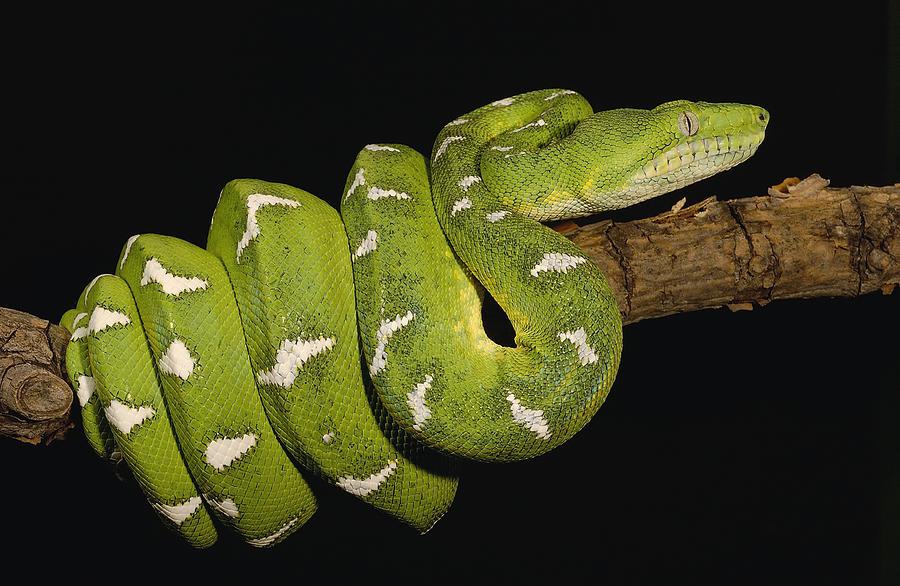 Boa Arboricolo Smeraldino