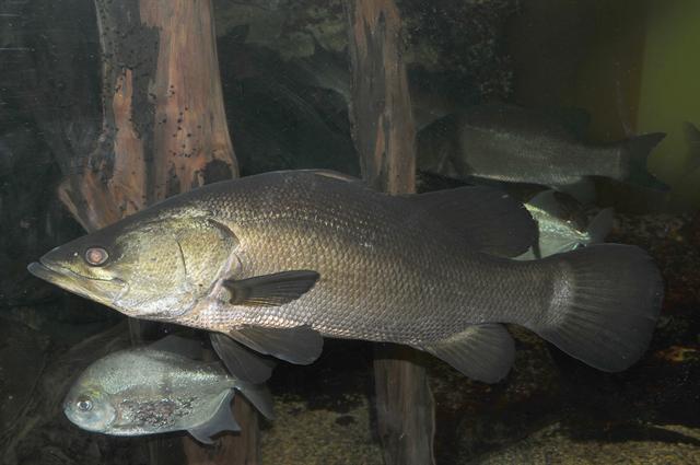 Pesce Persico Del Nilo