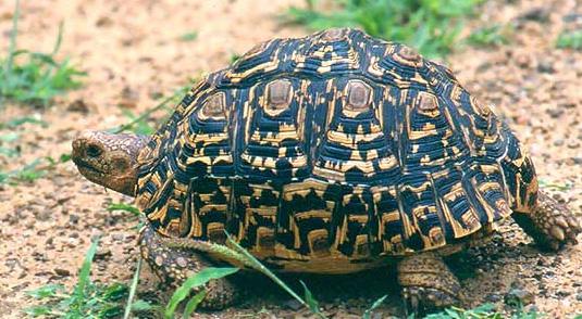 TartarugaLeopardo