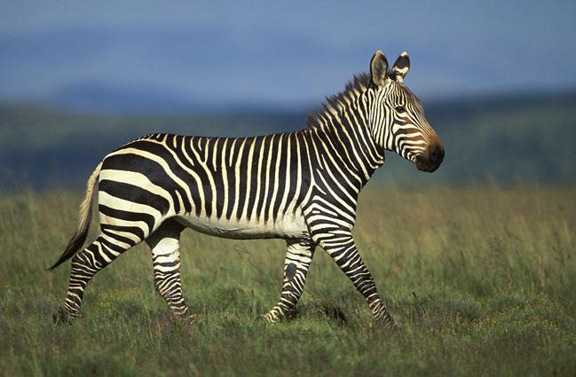 Zebra Di Montagna