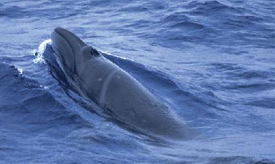 Balena Franca Pigmea