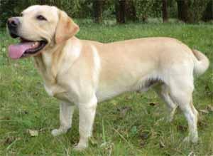 LabradorRetriever