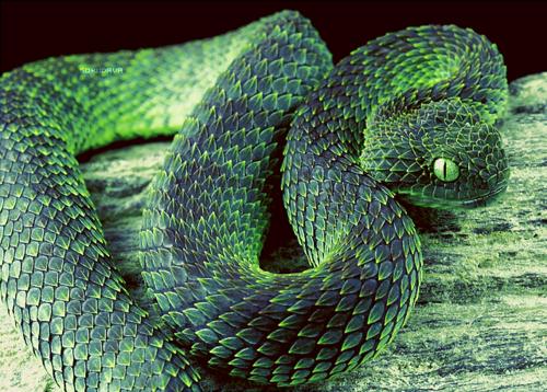 Vipera Cespuglio Verde